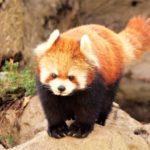 子連れ必見!夢見が崎動物公園にレッサーパンダを見に行こう!